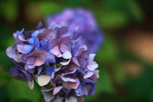 hydrangea ©Furocious Foto