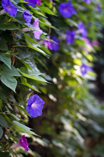I. purpurea